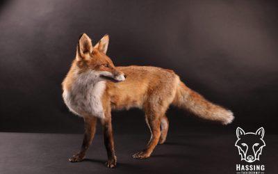 Opgezette dieren vandaag lichten we de vos uit